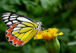 Typický německý Schmetterling.